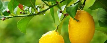 El limón, una fruta con sinnúmero de beneficios