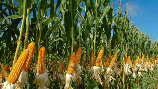 El maíz contribuye al aumento del rinde de otros cultivos; en especial, de soja