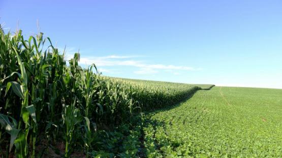 El maíz, un pilar del sistema productivo de granos